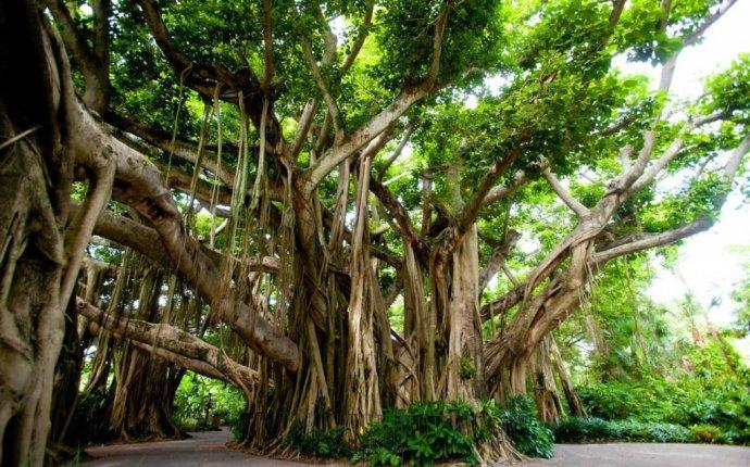 Medicinal Benefits of the Banyan Tree – Ayurveda at its Best